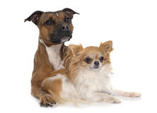 Stafforshire bull terrier and chihuahua Royalty Free Stock Photo