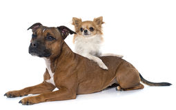 Stafforshire bull terrier and chihuahua Royalty Free Stock Photography