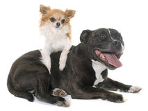Stafforshire bull terrier and chihuahua Royalty Free Stock Image