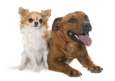 Stafforshire bull terrier and chihuahua Royalty Free Stock Images