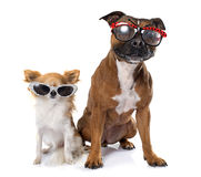 Stafforshire bull terrier and chihuahua Royalty Free Stock Photos
