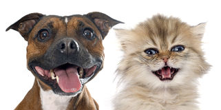 Stafforshire bull terrier and persian kitten Stock Images