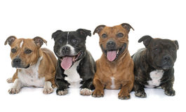 Stafforshire bull terriers Stock Image