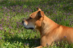 Stafforshire terrier taking a rest in garden Stock Photography
