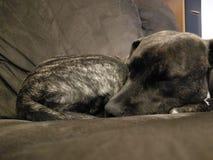 Staffy americano del perrito Imágenes de archivo libres de regalías