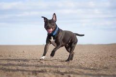 Staffy dog stock image