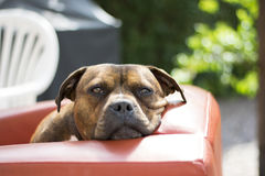 Staffy dog staring at camera. Gorgeous staffy dog golden brown fur with brown eyes.   Staffy dog relaxing on red chair. beautiful brown eyes. staffy cross boxer Royalty Free Stock Photos