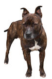 Staffy Mastiff Cross Stock Photography
