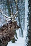 Stag 1. A stag is waiting and looking into the depth of the winter forrest Stock Images