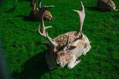 stag Royaltyfria Bilder