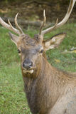Stag Royalty Free Stock Image