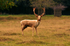 Stag Stock Photography