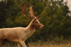 Stag Royalty Free Stock Photos