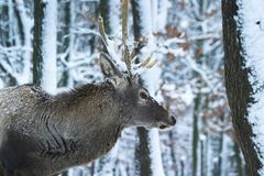 Stag 2. A stag is waiting and looking into the depth of the winter forrest Royalty Free Stock Photo