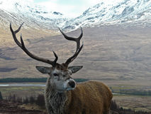 Stag. A Stag stand proud and tall in the Highlands of Scotland Royalty Free Stock Photo