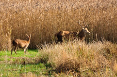 Stag amongst the reeds Royalty Free Stock Photo
