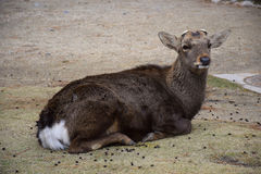 Stag without antlers sitting in the meadow. At Nara city, Japan Royalty Free Stock Photos
