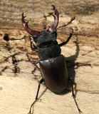 Stag beetle. Close up of large stag beetle Royalty Free Stock Photo