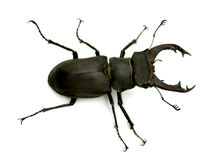 Stag-beetle. On white background Royalty Free Stock Photo