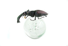 Stag-beetle Stock Image