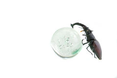 Stag-beetle Royalty Free Stock Photography