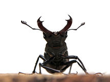 Stag-beetle. Male stag-beetle on a tree cut close up Royalty Free Stock Photos