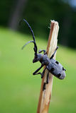 Stag-beetle. Alpenbock Royalty Free Stock Images