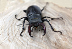 Stag beetle. A photo close up on a tree cut Royalty Free Stock Photos