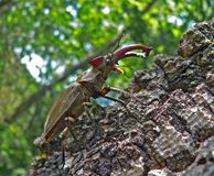 Stag-beetle. Close-up of a stag-beetle. Male on a tree. Profile Stock Photos