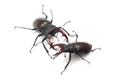 Stag beetle Royalty Free Stock Photography