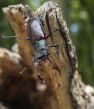 Stag Beetle. An adult male stag beetle (Lucanus cervus) in its natural habitat Royalty Free Stock Photography