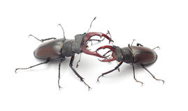 Free Stag Beetle Royalty Free Stock Photography - 20378717