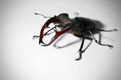 Stag-beetle. On white background Stock Images