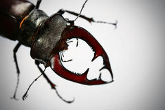 Stag-beetle. On white background royalty free stock image