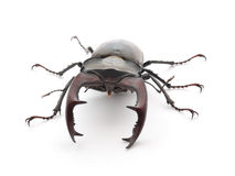Stag Beetle. Male Reddish-brown Stag Beetle (Lucanus capreolus) on white background Royalty Free Stock Images