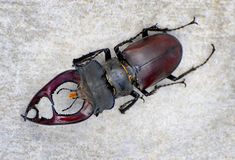 Stag Beetle Stock Photo