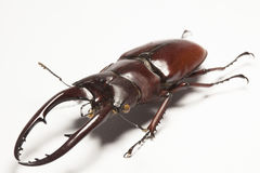 Stag beetle. Form Muzeum Arthropoda collection Royalty Free Stock Photos