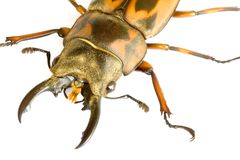 Stag Beetle Stock Photography