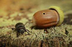Stag beetle and acorn on tree trunk. In dusk Royalty Free Stock Photo