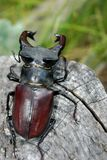 Stag beetle on the bark of oak. close-up. Stag beetle on the bark of oak Stock Photography