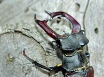 Stag beetle on the bark of oak. close-up. Stag beetle on the bark of oak Royalty Free Stock Photo
