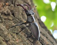 A stag beetle on the bark of a tree. Photo close-up of a deer beetle, on the bark of a tree in a waiting pose. The male is ready to repel the attack Royalty Free Stock Images