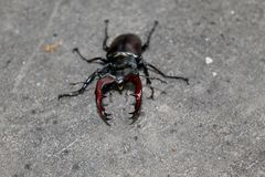 Stag-beetle Stock Photos