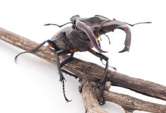 Stag-beetle on a branch. Stock Photos