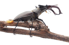 Stag-beetle on a branch. Royalty Free Stock Photos