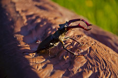 Stag beetle. On a brown tree Stock Photos
