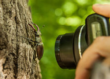 Stag-beetle and a camera. Stag-beetle on bark of a tree and a hand of the person who photographs him Stock Photography