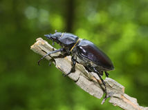 stag beetle / Cervus lucanus Royalty Free Stock Photos