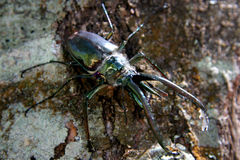 Stag Beetle, Chile Stock Image