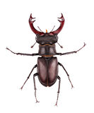 Stag-beetle Stock Photography